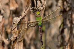 Common Green Darner Dragonfly Royalty Free Stock Photography