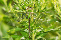 Common Green Darner Dragonfly Stock Images