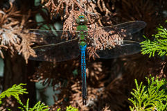 Common Green Darner Stock Photography