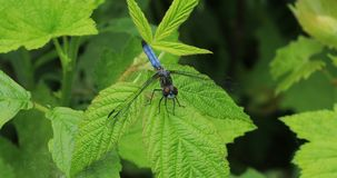 Common Green Darner on a leaf 4K. The Common Green Darner on a leaf 4K stock footage