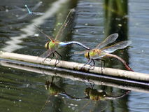 Common Green Darners Together Royalty Free Stock Photography