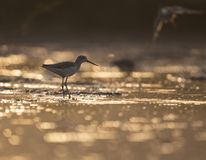 Common green Shank at Sunrise royalty free stock images
