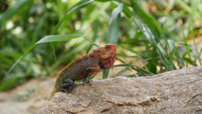Common Green Forest Lizard. (Calotes Calotes) in Sri Lanka royalty free stock photography
