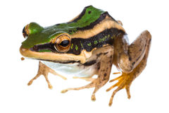 Common green frog. Isolated on white Royalty Free Stock Image