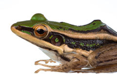 Common green frog. On white Royalty Free Stock Image