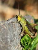 Common green grasshopper. Closeup of a grasshopper on a rock Royalty Free Stock Photography
