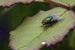 Common green household fly sitting on the rose leaf. Up close macro shot royalty free stock photos
