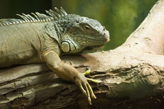 Common Green Iguana Royalty Free Stock Images