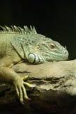 Common Green Iguana Royalty Free Stock Images