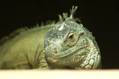 Common Green Iguana Royalty Free Stock Image