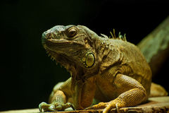 Common Green Iguana Royalty Free Stock Photography
