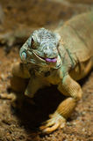 Common Green Iguana Royalty Free Stock Photos