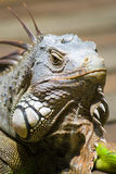 Common Green Iguana. An inquisitive, green iguana comes out for a quick gander around stock photo