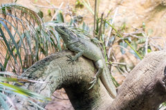 Common green iguana resting on a tree trunk in tropical environm Stock Images