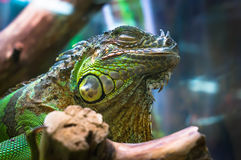 Common green iguana in terrarium Stock Images