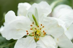 Common green lacewing on apple tree flower, beneficial predator of aphids stock photo