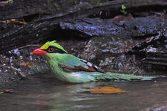 Common Green Magpie Stock Photos