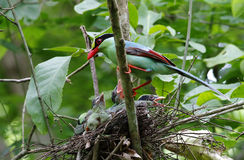 Common green magpie Cissa chinensis Royalty Free Stock Image