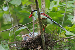 Common green magpie Cissa chinensis Royalty Free Stock Images