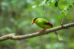 Common green magpie Stock Images