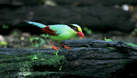 Common Green Magpie Royalty Free Stock Images