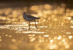 Common green Shank at Sunrise royalty free stock image