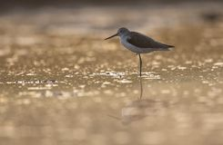 Common green Shank at Sunrise stock images