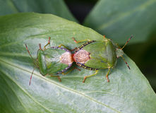 Common Green Shield Bugs mating stock photo