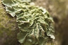 Common Green Shield Lichen Stock Photo