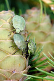 Common Green Shieldbug Royalty Free Stock Images