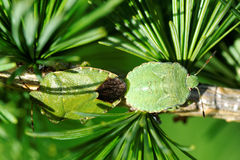 Common Green Shieldbug Stock Photography