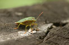 A Common Green Shieldbug, Palomena prasina, feeding standing on a wooden fence. royalty free stock photography