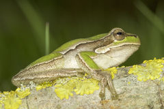 Common green toad in natural hanitat  / Hyla arborea Stock Photos