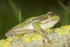 Common green toad in natural hanitat  / Hyla arborea Stock Photos