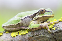 Common green toad in natural hanitat  / Hyla arborea Stock Images