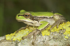 Common green toad in natural hanitat  / Hyla arborea Royalty Free Stock Photo