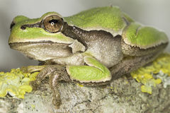 Common green toad in natural hanitat  / Hyla arborea Royalty Free Stock Photography