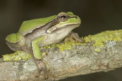 Common green toad in natural hanitat  / Hyla arborea Royalty Free Stock Images