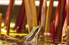 Common Greenback frog. Is looking from water Stock Images