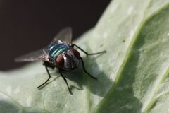 Common greenbottle. Lucilia caesar is a member of the fly family Calliphoridae commonly known as a blow flies. Lucilia caesar is commonly referred to as the Stock Images