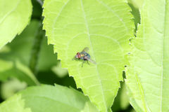 Common greenbottle fly. Lucilia caesar is a member of the fly family Calliphoridae commonly known as blow flies. L. caesar is commonly referred to as the common Royalty Free Stock Photo
