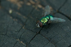 Common greenbottle fly Stock Photos
