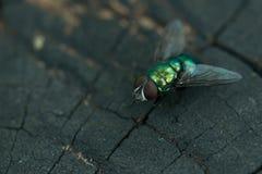Common greenbottle fly. Macro photography of common greenbottle fly ( Lucilia caesar Stock Photos