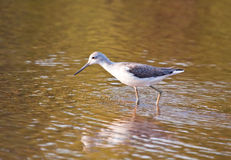 Common Greenshank Stock Image