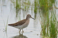 Common greenshank. In the river Stock Images