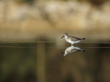 Common Greenshank Royalty Free Stock Image