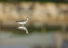 Common Greenshank Stock Images