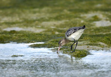 Common Greenshank Royalty Free Stock Photos