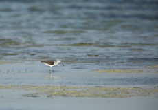 The common greenshank Stock Photo