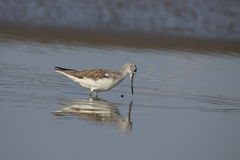 Common Greenshank feeding. Royalty Free Stock Photography